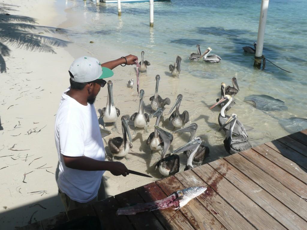 Pelicans in San Pedro