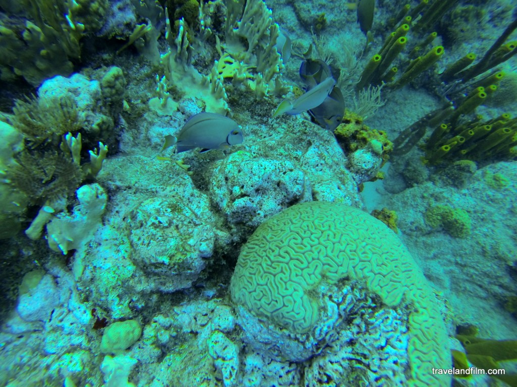 brain-corals-guadeloupe-diving