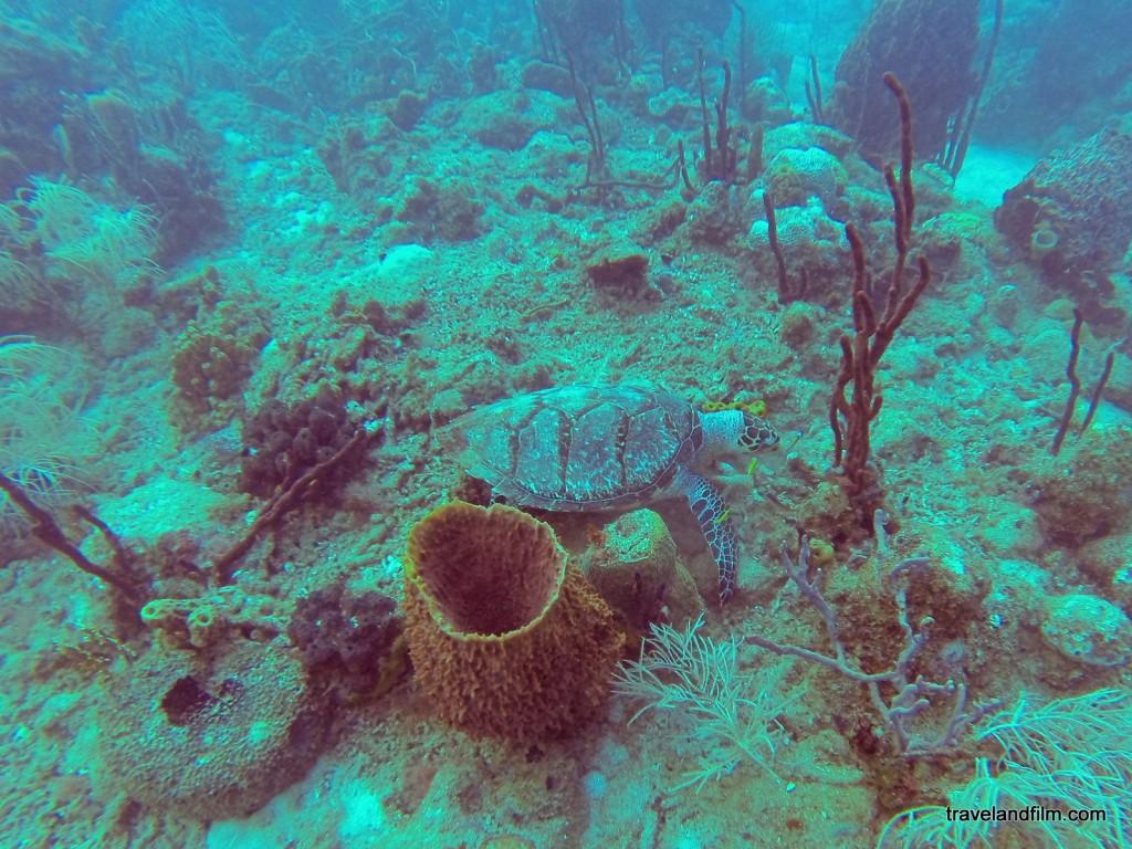 guadeloupe-tortue-plongee
