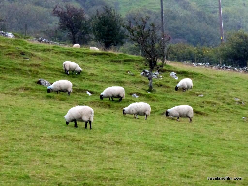 moutons-irlande