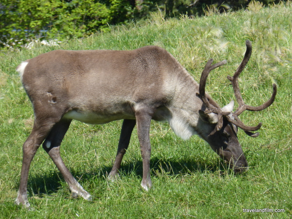 winnipeg-assiniboine-zoo-caribou