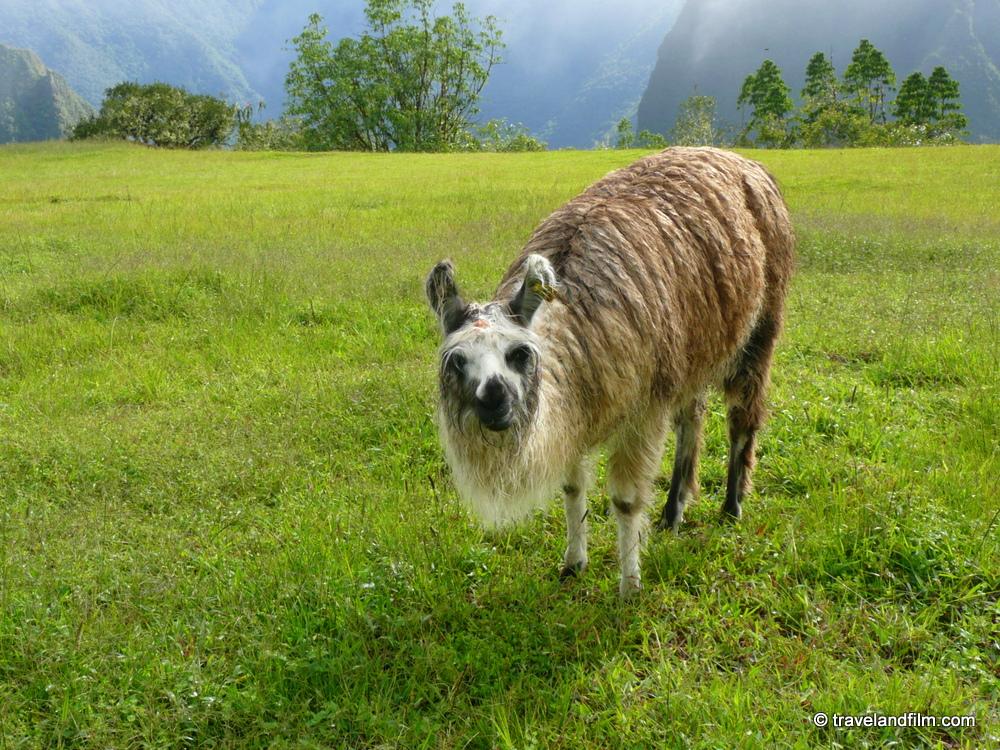 animal-andes-machu-picchu