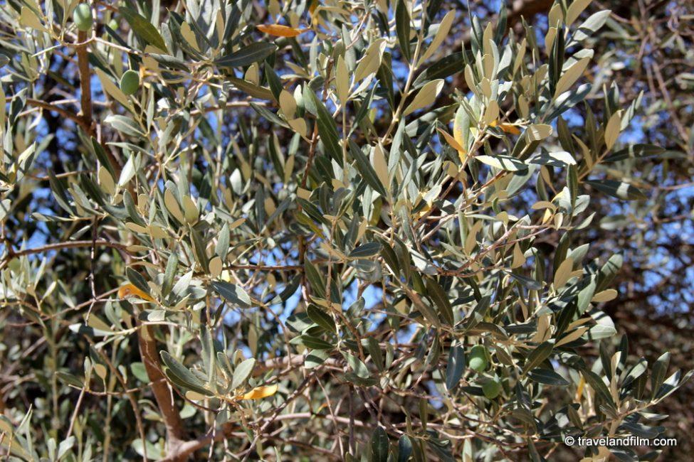 rameaux-d-olivier-grece