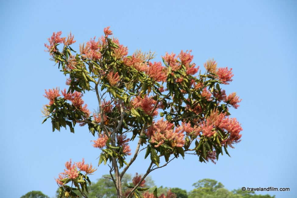 arbre-du-pantanal-bresil