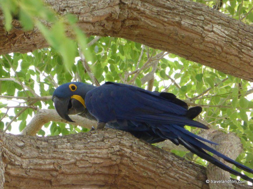 blue-aras-pantanal