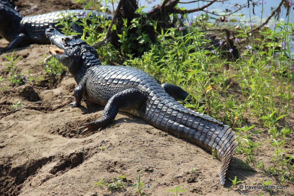 caiman-pantanal