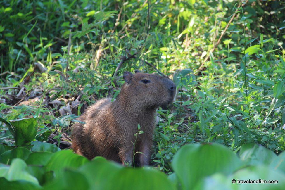 capybara-pantanal-brasil