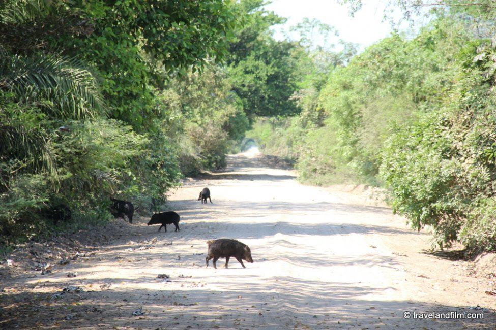 cochons-sauvages-pantanal