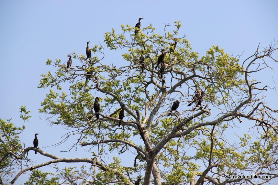 cormorans-pantanal