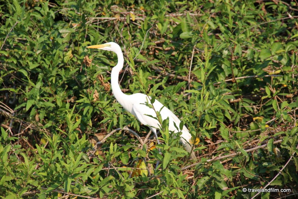 great-egret-pantanal