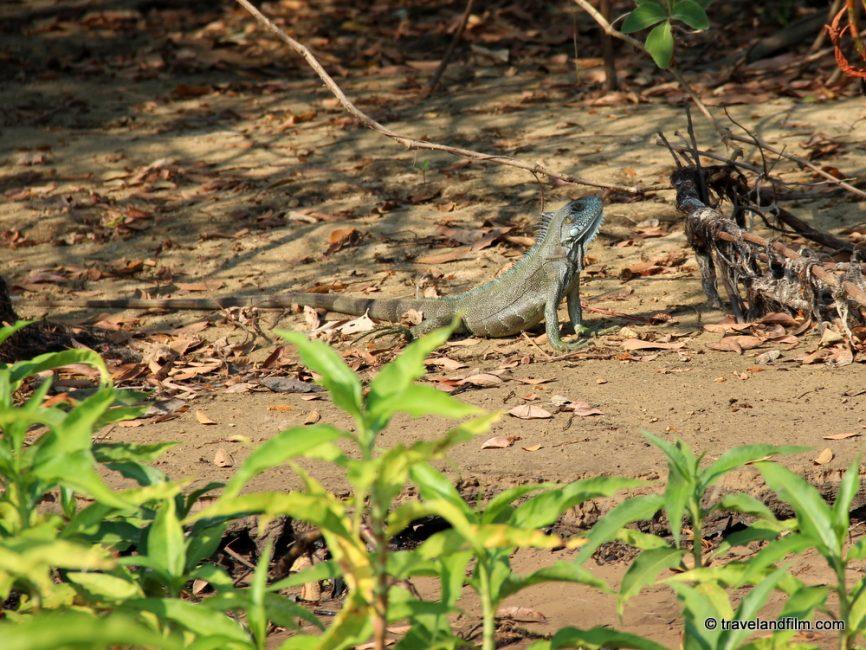 gros-lezard-pantanal