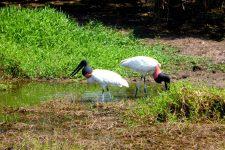Visiter le Pantanal au Brésil: animaux à voir, activités à faire, conseils pratiques