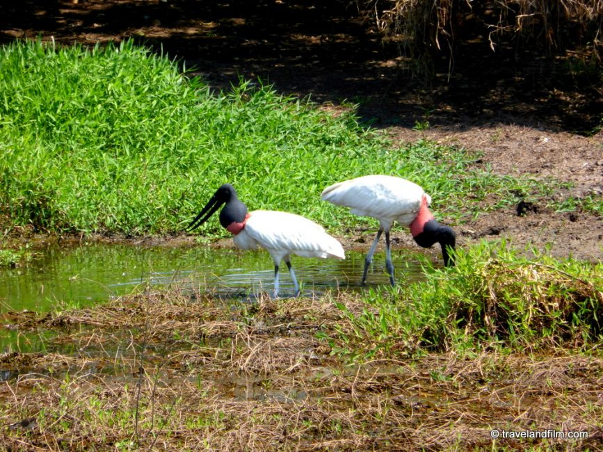 jabirus-pantanal