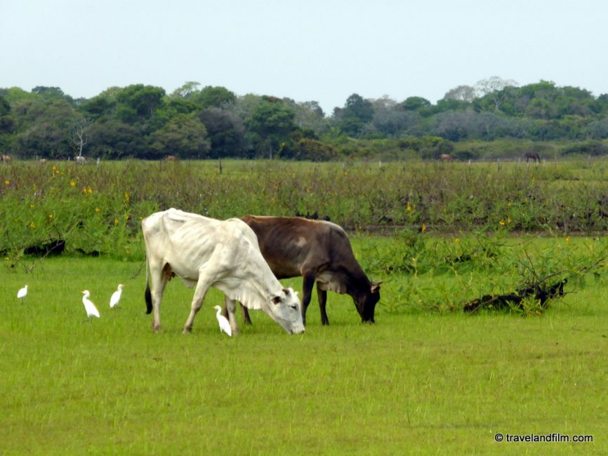 pantanal-cows-and-birds