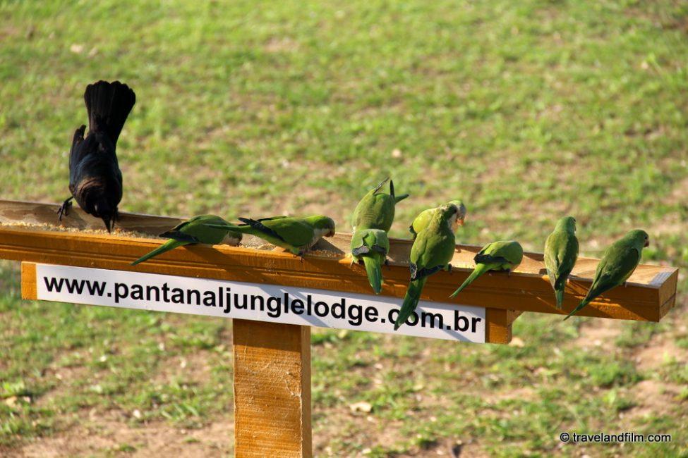 pantanal-jungle-lodge-birds-feeding