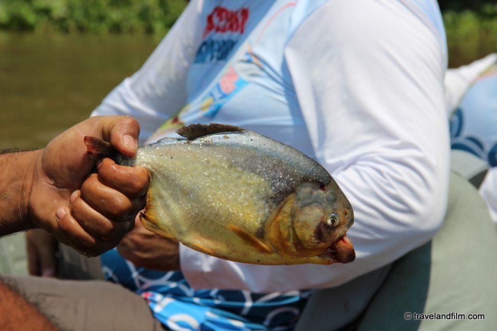 piranha-pantanal-brazil