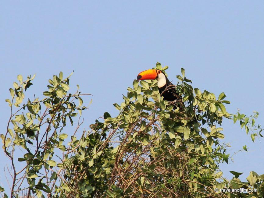 toco-toucan-pantanal