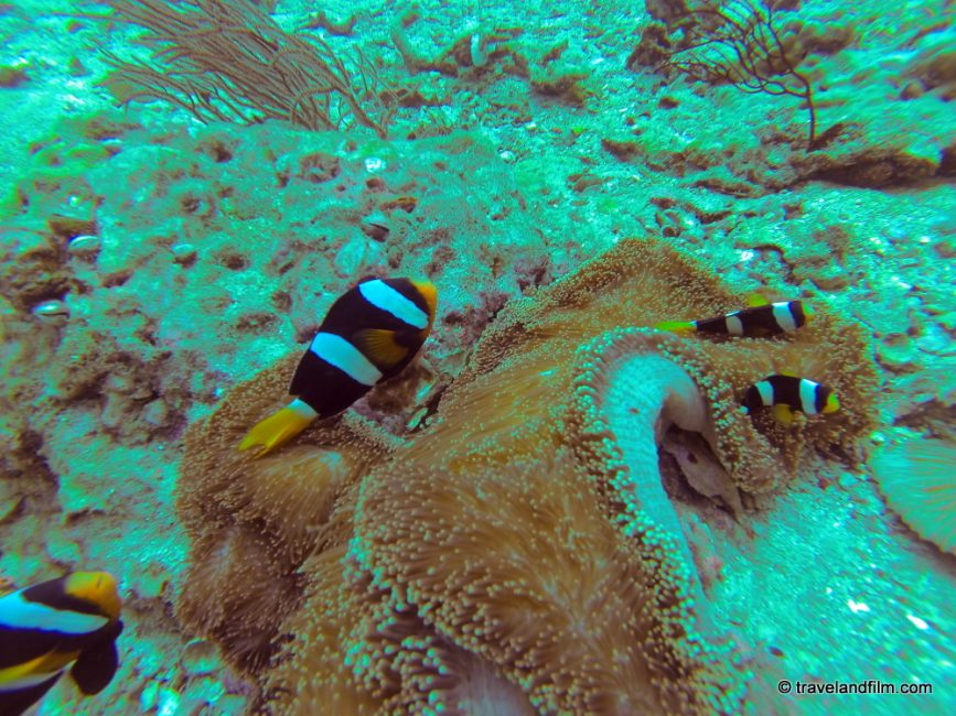 clown-fish-koh-phi-phi