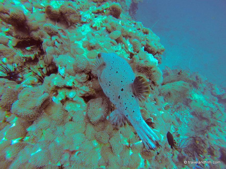 koh-phi-phi-box-fish-diving