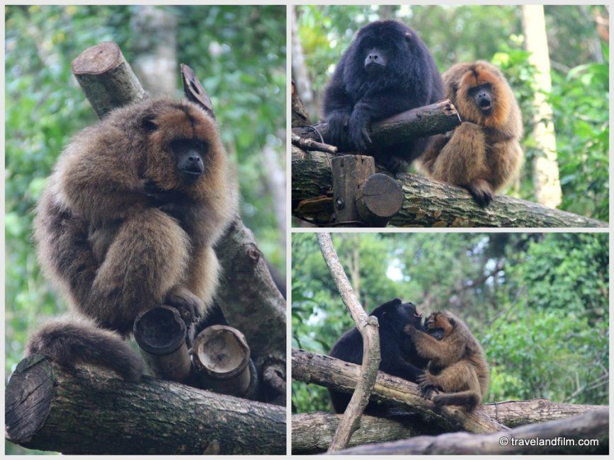 guira-oga-argentine-puerto-iguazu-singes