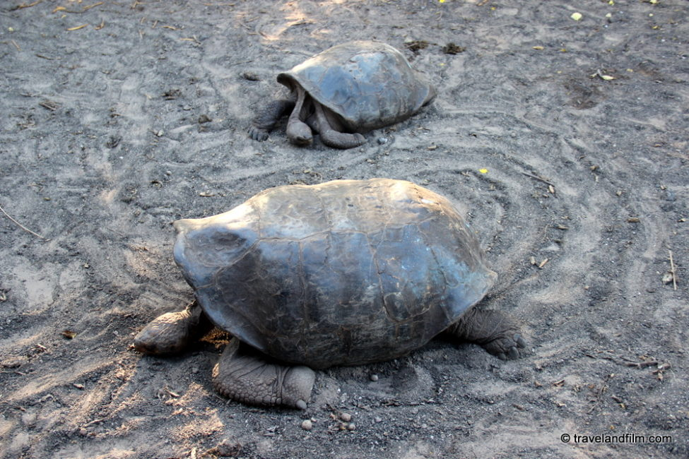 centre-tortues-isabela-galapagos
