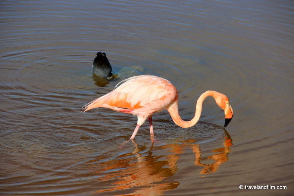 flamant-rose-isabela-galapagos