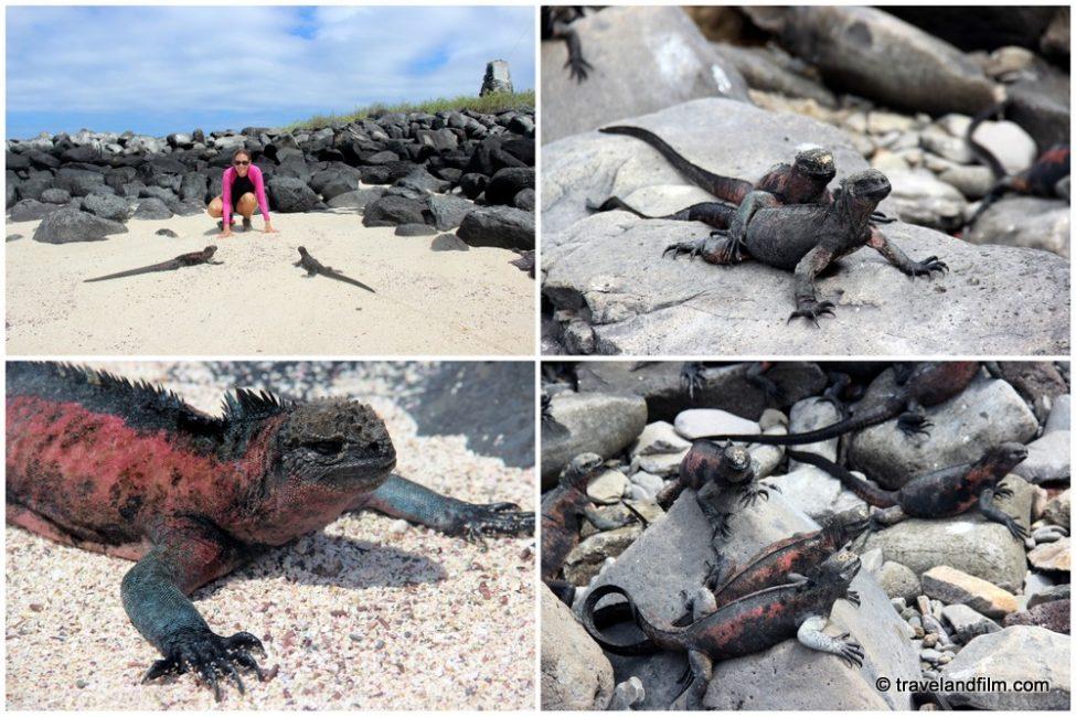 iguanes-marins-galapagos-isla-espanola