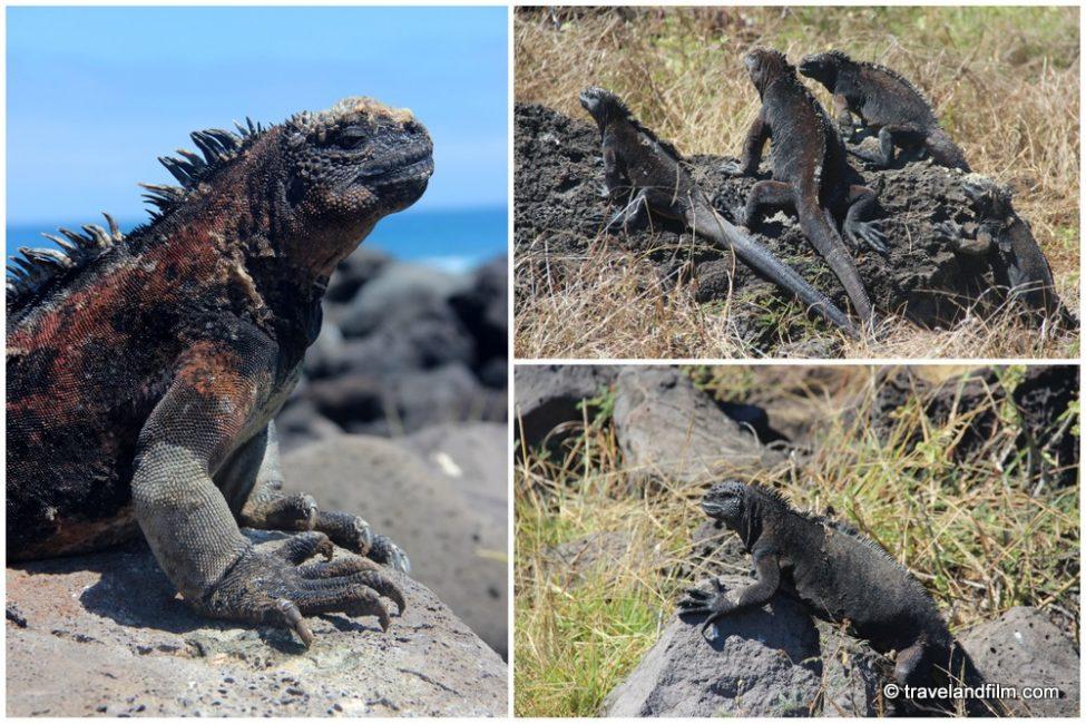 marine-iguanas-san-cristobal-galapagos