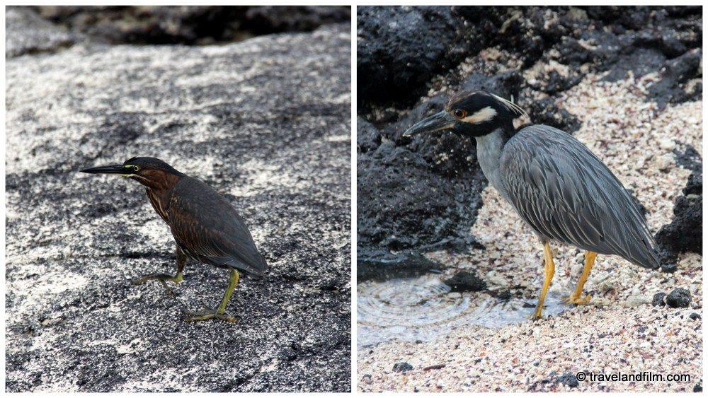oiseaux-parc-national-isabela-galapagos