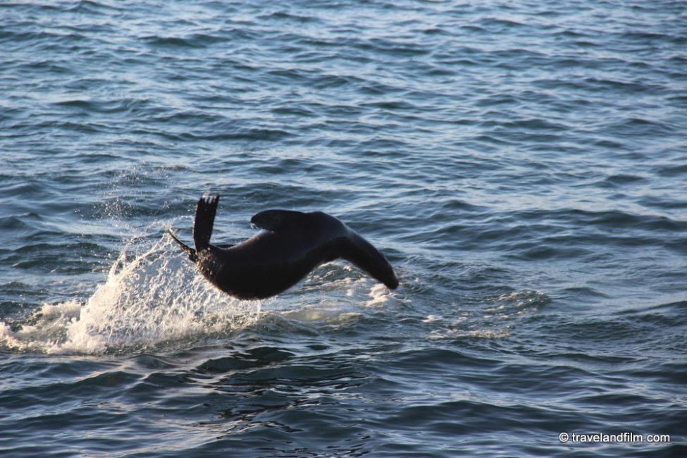 otarie-des-galapagos-sautant