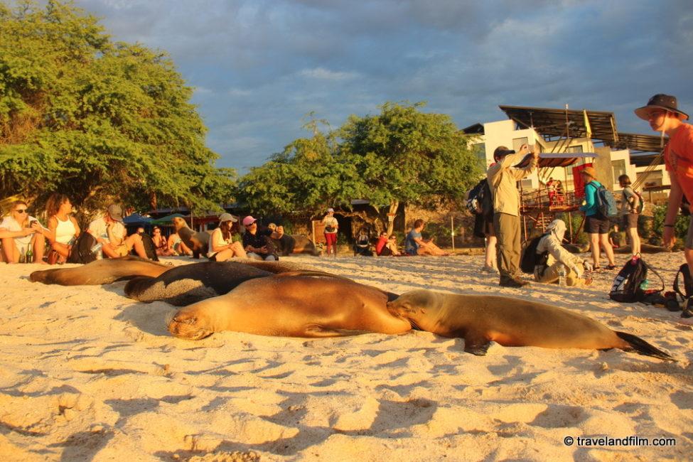 otaries-plage-playa-mann-galapagos
