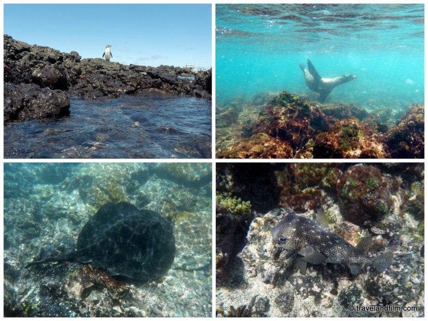 snorkeling-concha-perla-isabela-galapagos
