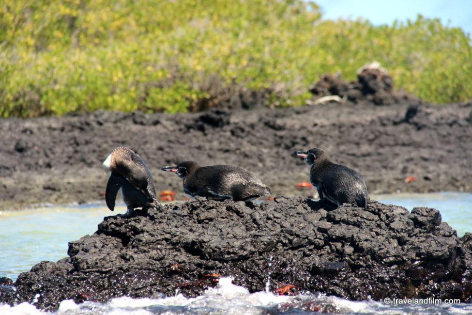 tintoreras-pingouins-isabela-galapagos