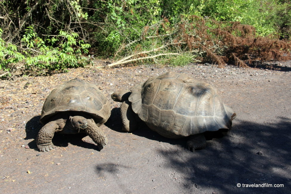 tortues-isabela-galapagos