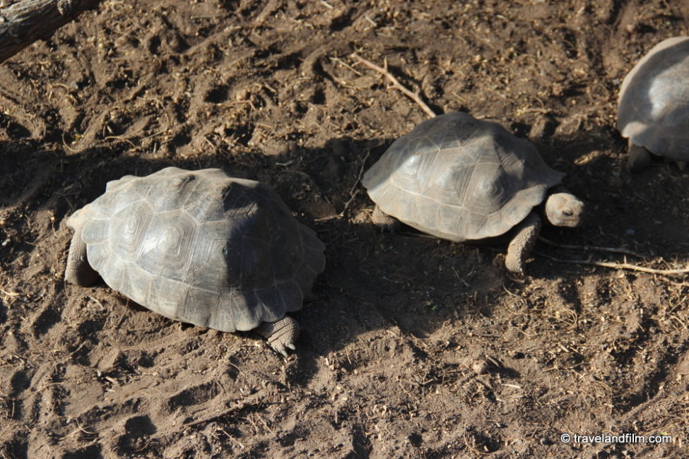 tortues-sierra-negra-isabela-galapagos