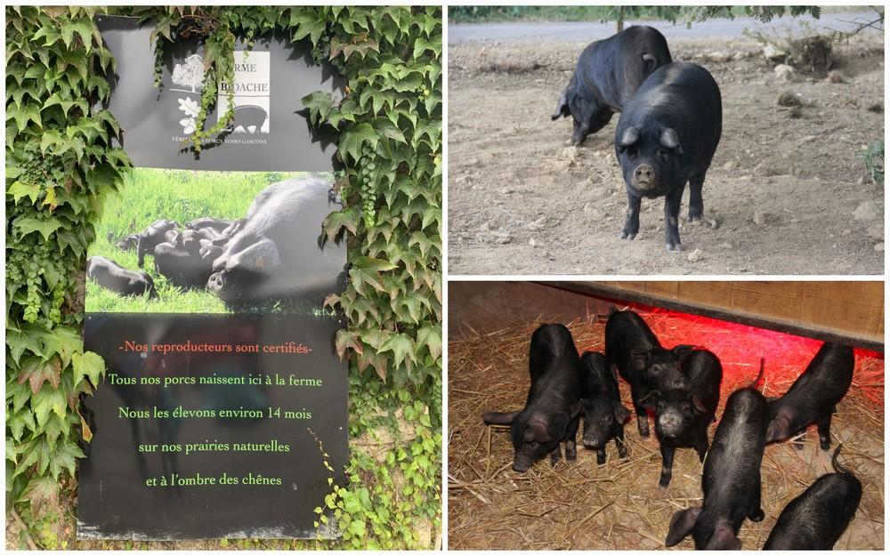 ferme-bidache-porcs-gascons