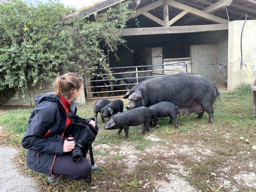 porcs-noirs-gascons-ferme-bidache-gers