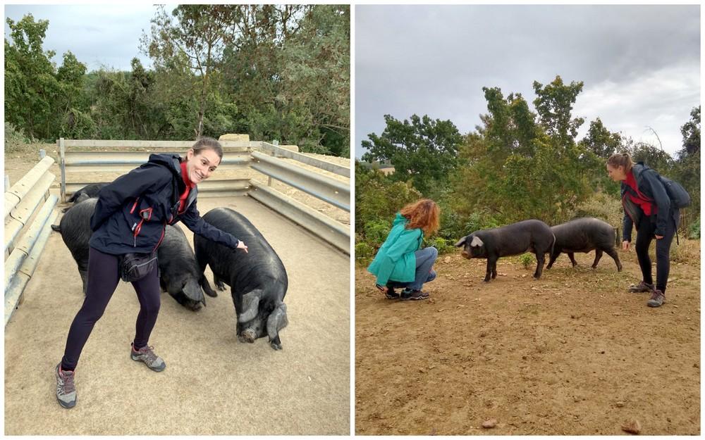 porcs-noirs-gascons-ferme-de-bidache-gers