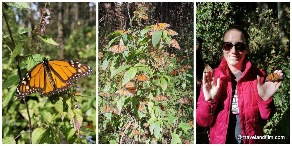 mariposa-monarca-michoacan