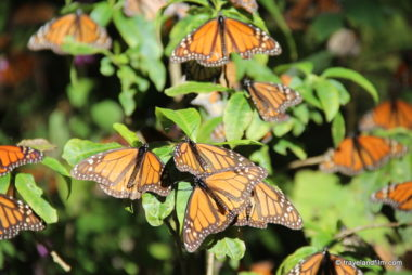 michoacan-mariposa-monarca