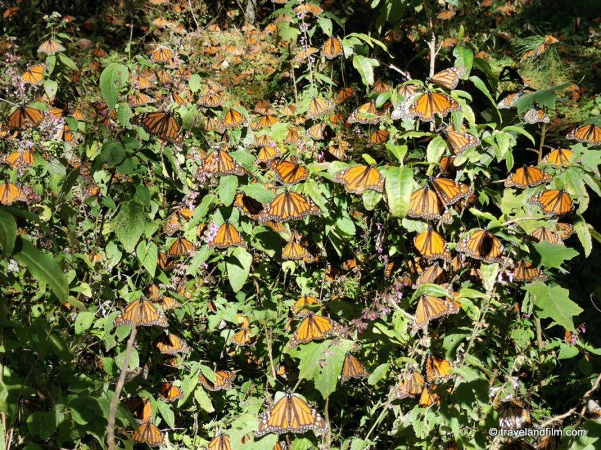 papillons-monarques-el-rosario-michoacan
