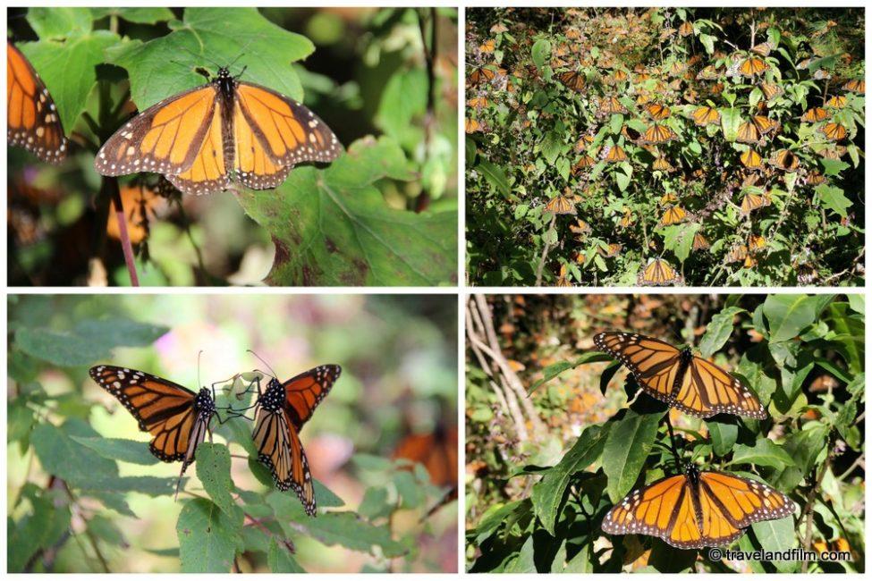 papillons-monarques-michoacan
