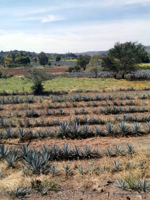 agave-bleu-jalisco