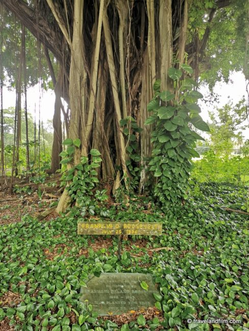 banyan-drive-hilo-theodore-roosevelt-banyan-tree